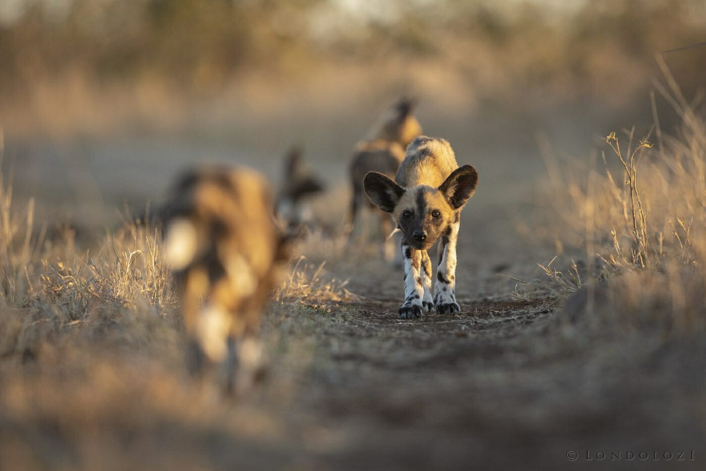 Wild Dog Pup Ears