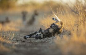 Wild Dog Pup Fall