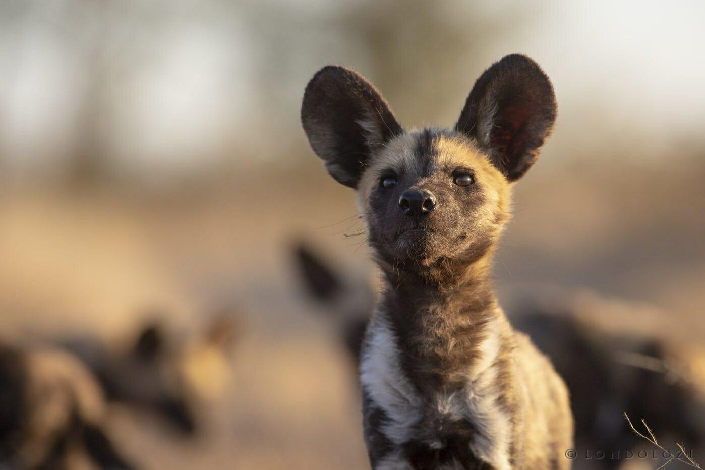 Wild Dog Pup1