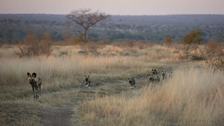 Wild Dog Pups Follow