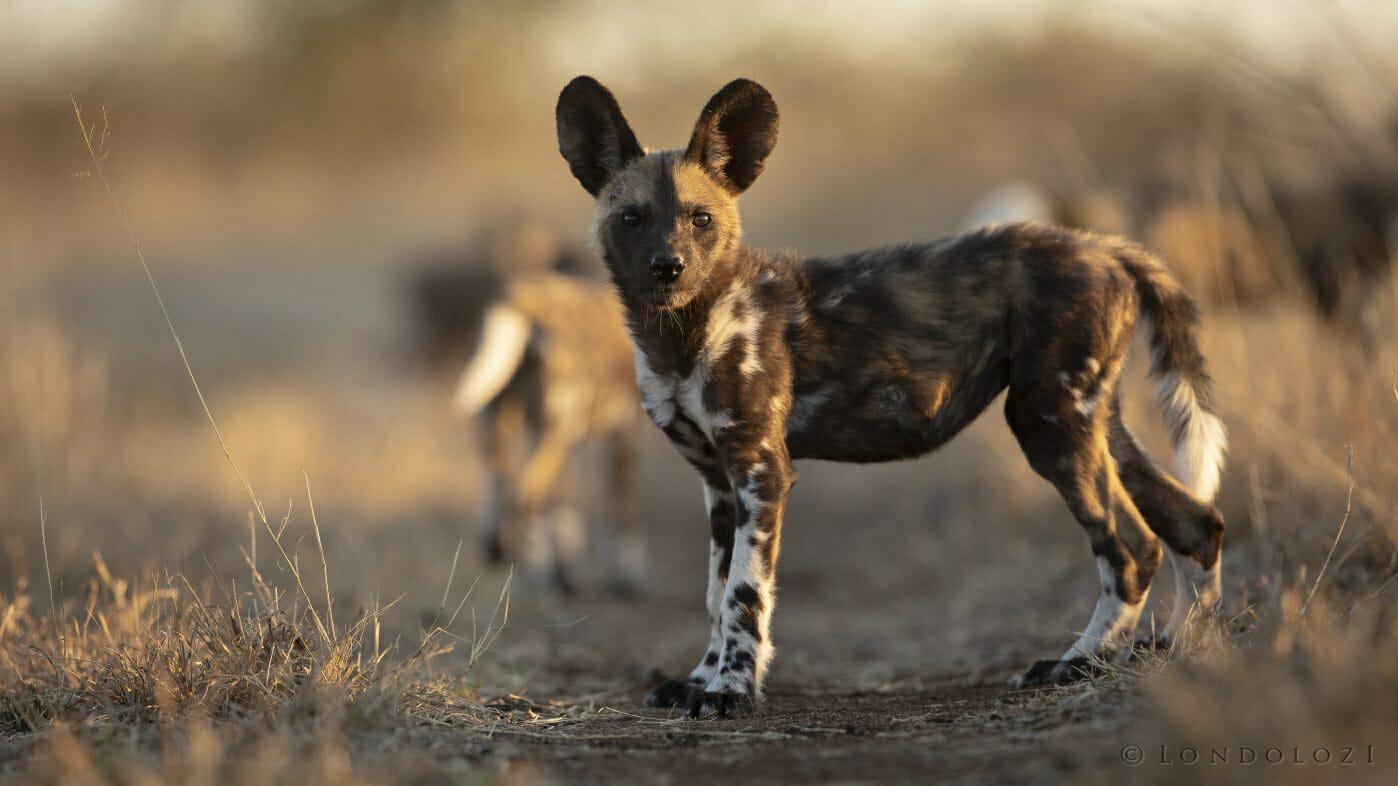 Wild Dog Pups Profile