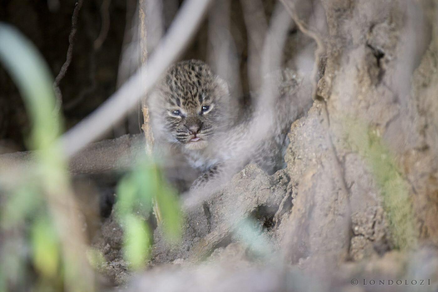 Mashaba Leopard Cub 2