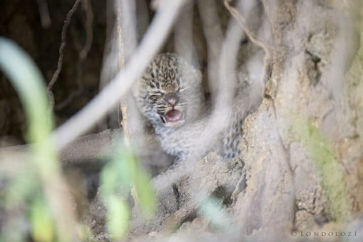 Mashaba Leopard Cub 3