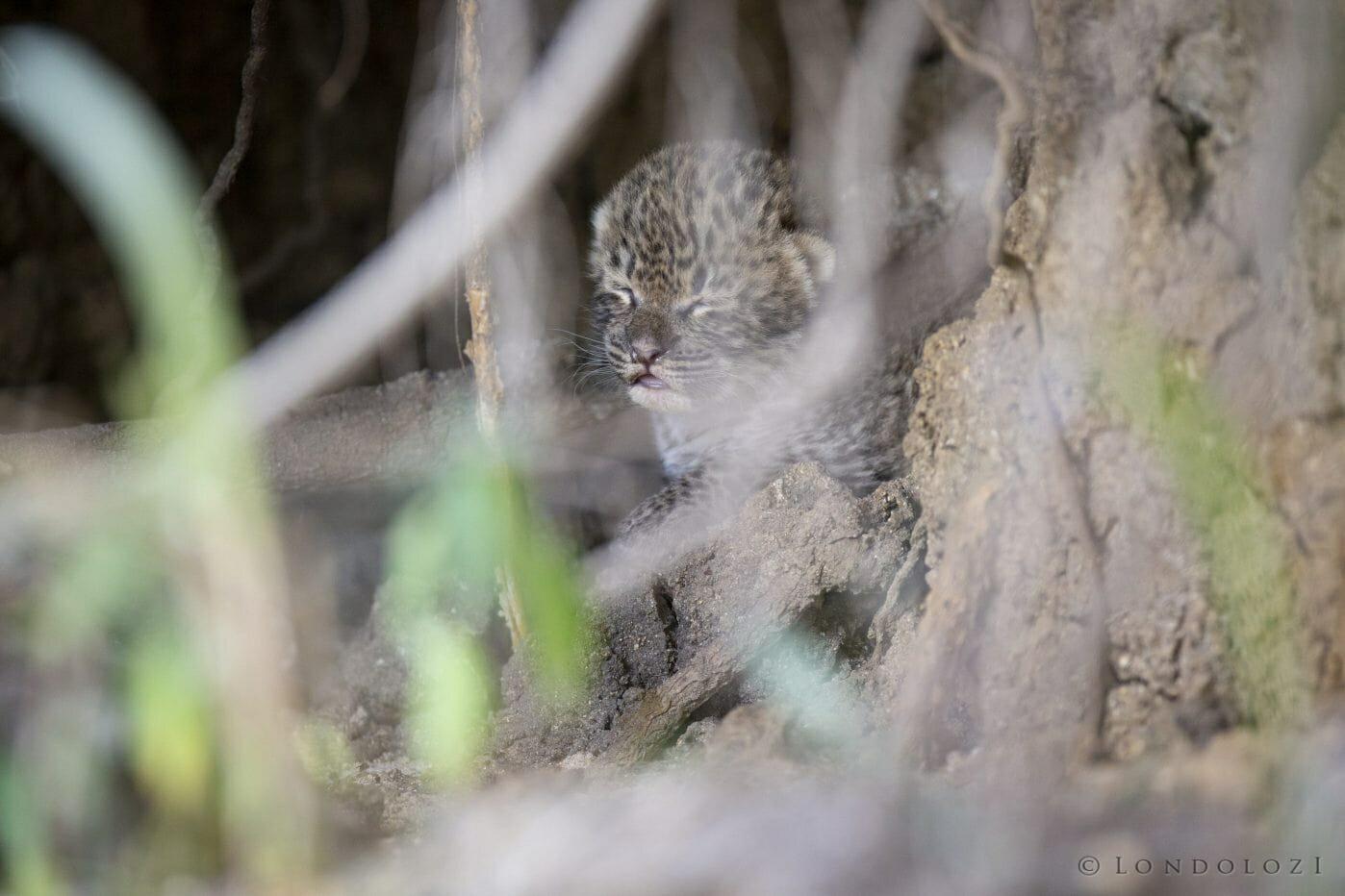 Mashaba Leopard Cub