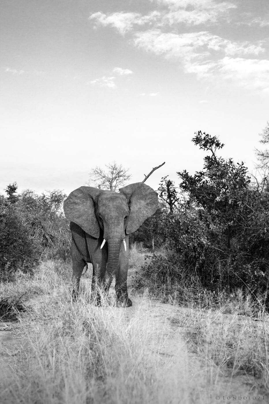 Elephant Pt2020 2088