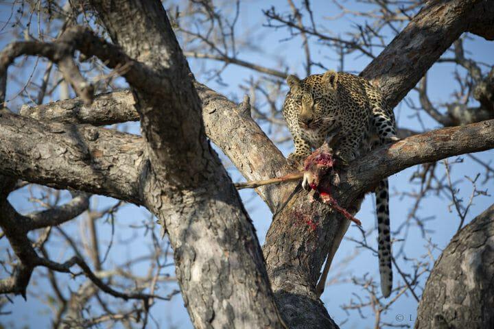 Male Leopard Son Of Emsagweni Impala Kill