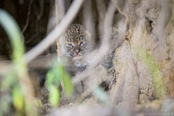 Mashaba Leopard Cub1