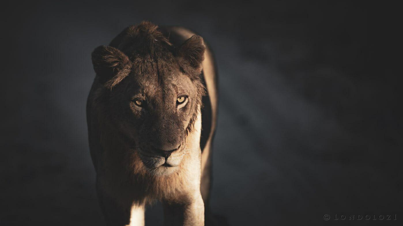 Styx Lion