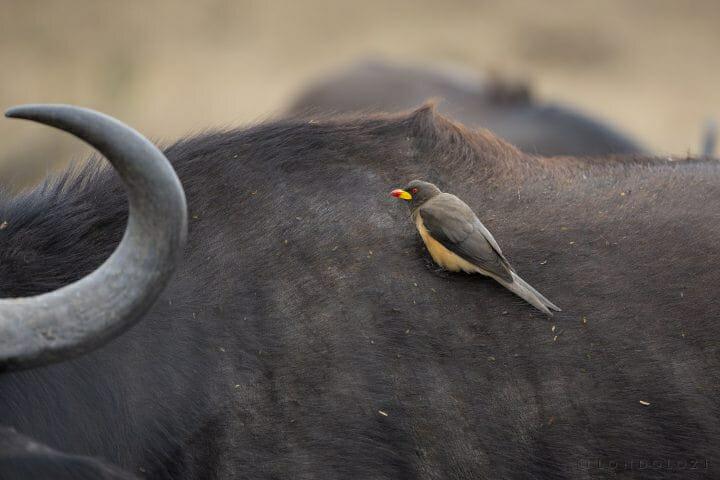 Yellow Billed Oxpecker Bird