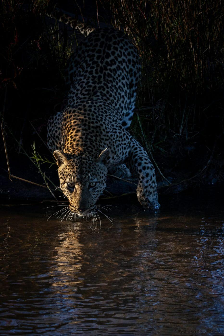 Flat Rock Male Leopard Sand River Pt2020 5307