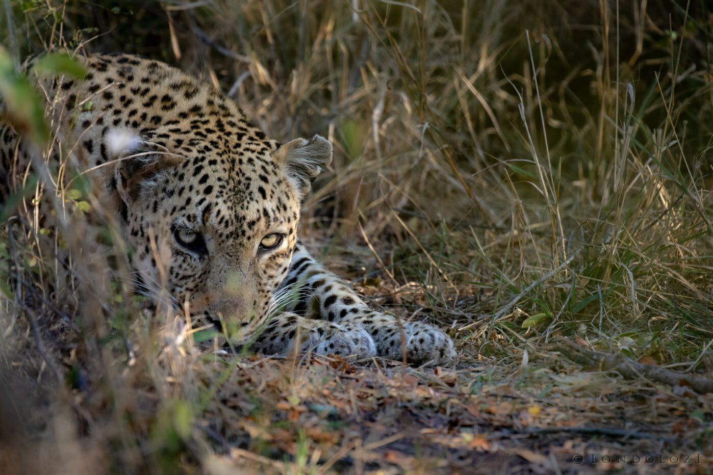 Senegal Bush Male Leopard Resting Pt2020 5031