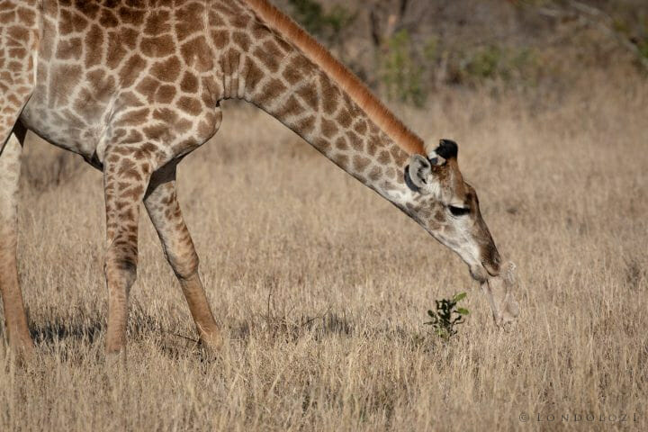 Giraffe Pt2020 5733