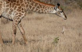 Giraffe Pt2020 5734
