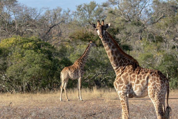 Giraffe Pt2020 5756