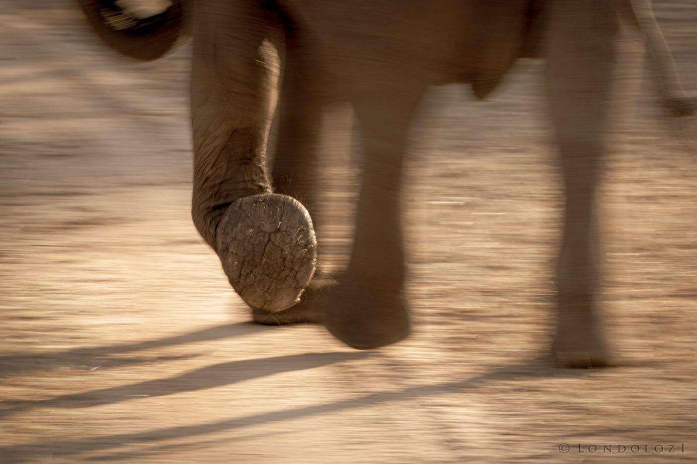 Elephant Foot Panning Pt2020 5815