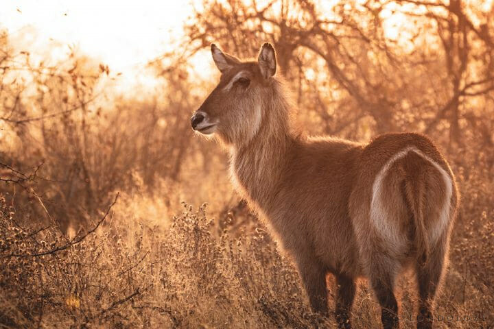 Waterbuck Backlit Pt2020 5939