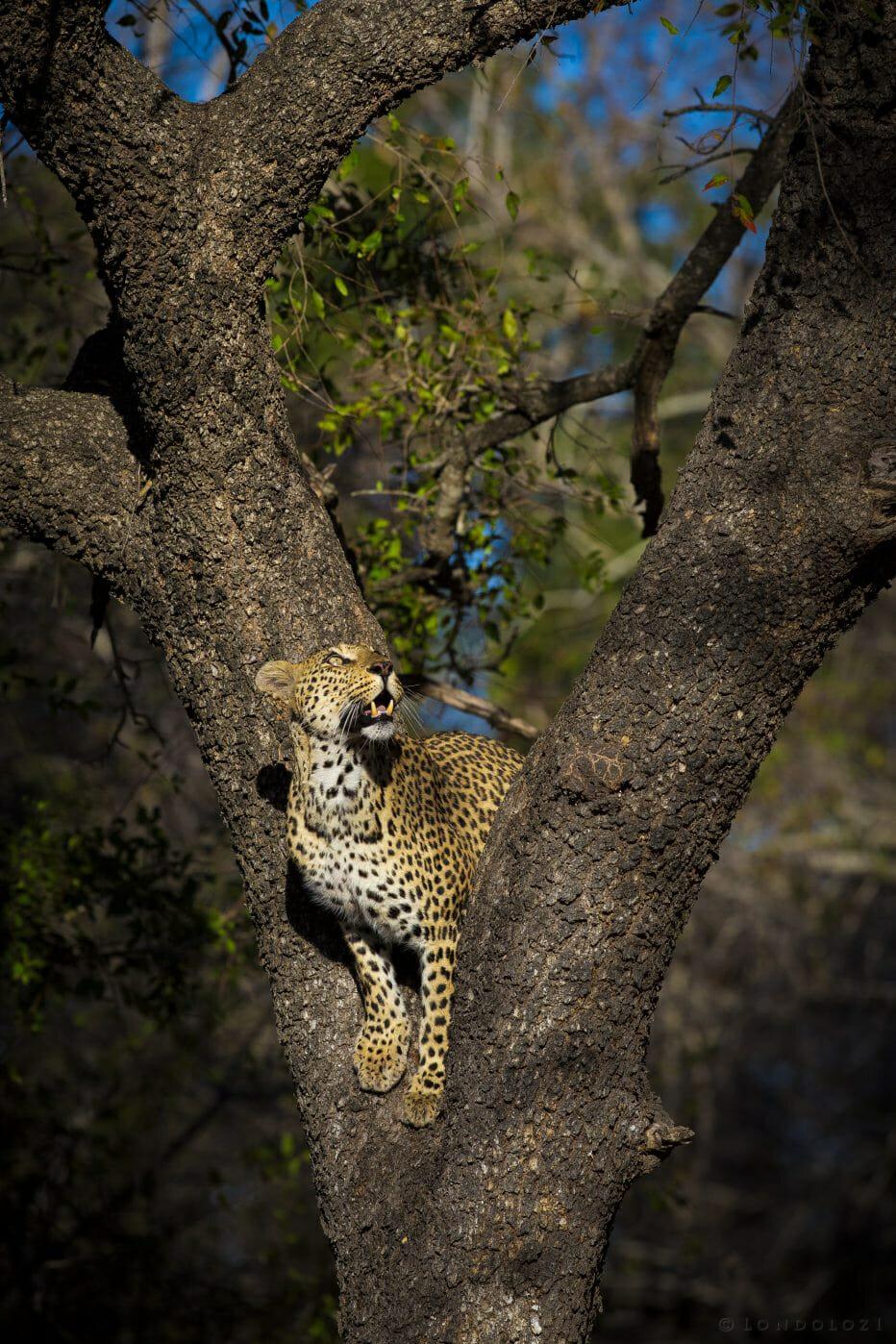 Mashaba Leopard Tree
