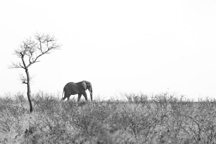Elephant B W Pt2020 6475