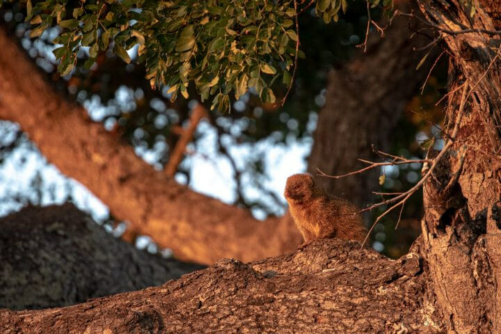 Slender Mongoose In Tree Pt2020 6035