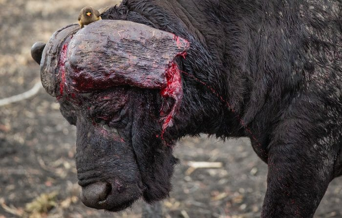 Buffalo Horn Blood 2