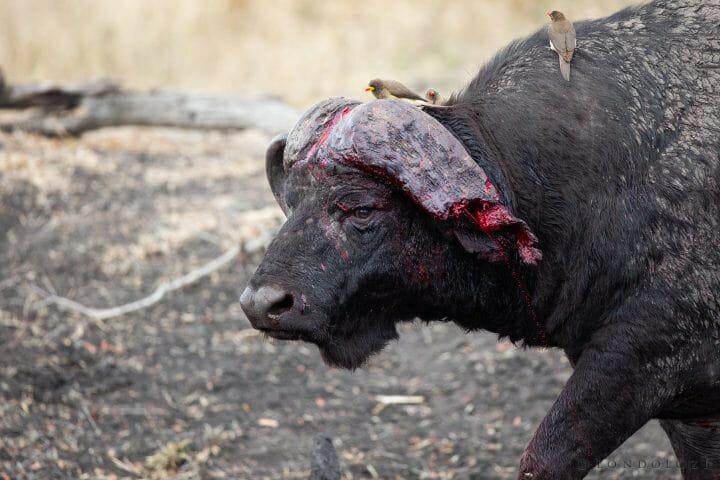 Buffalo Horn Blood