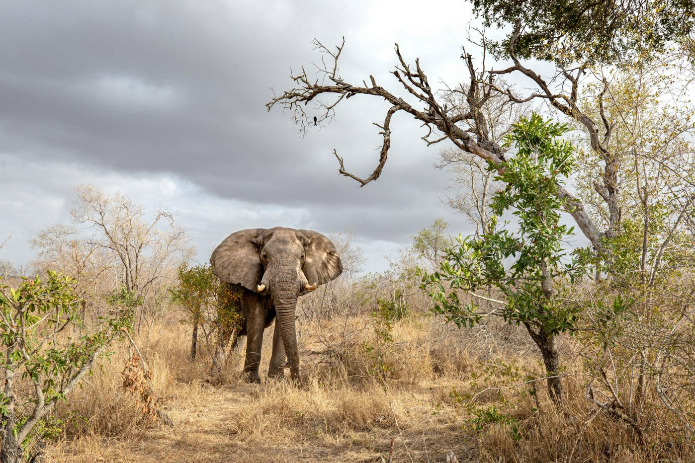 Elephant And Drongo Pt2020 0017