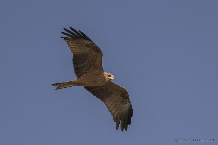 Yellow Billed Kite Milvus Aegyptius Aegyptius In Flight Ethiopia