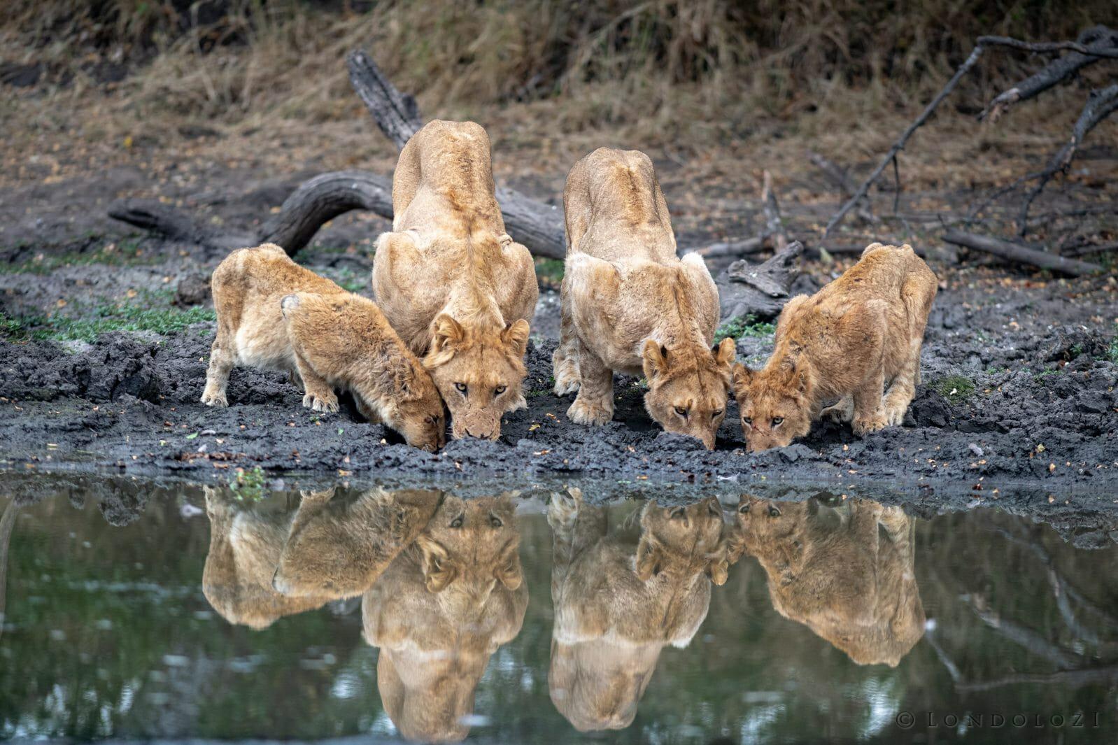 Ntsevu Lions Drinking Sean Zeederberg Dsc 0747