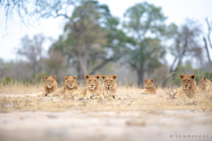 Ntsevu Lions Drinking Sean Zeederberg Dsc 0794