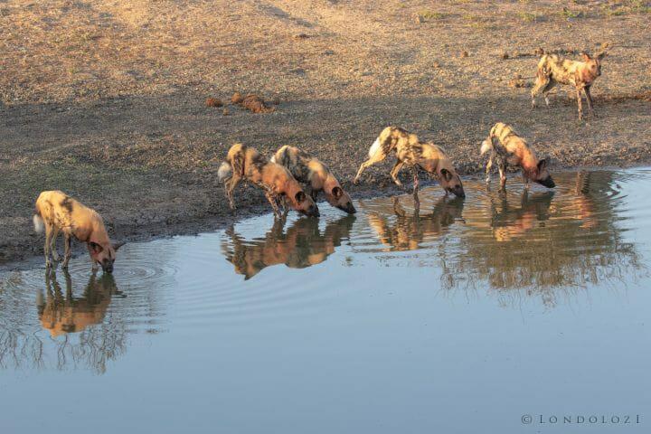 Wild Dogs Taylors Dam Pt2020 6749
