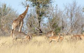 Impala Waterbuck And Giraffe Pt2020 6990