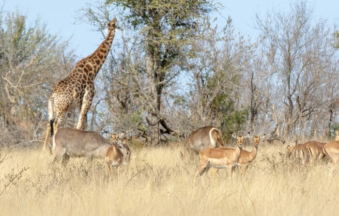 Impala Waterbuck And Giraffe Pt2020 6990