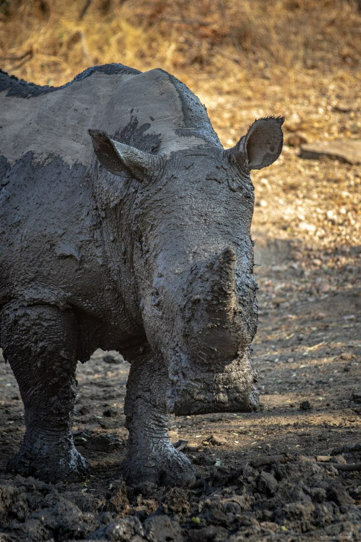 Rhino In Mud Pt2020 6956
