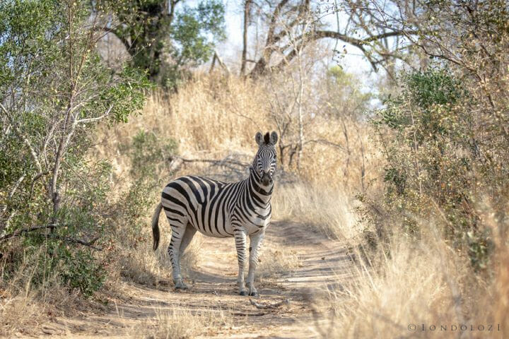 Zebra In Road Pt2020 6930