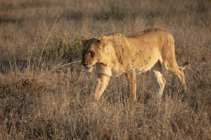 Ntsevu Lioness Pt2020 7029