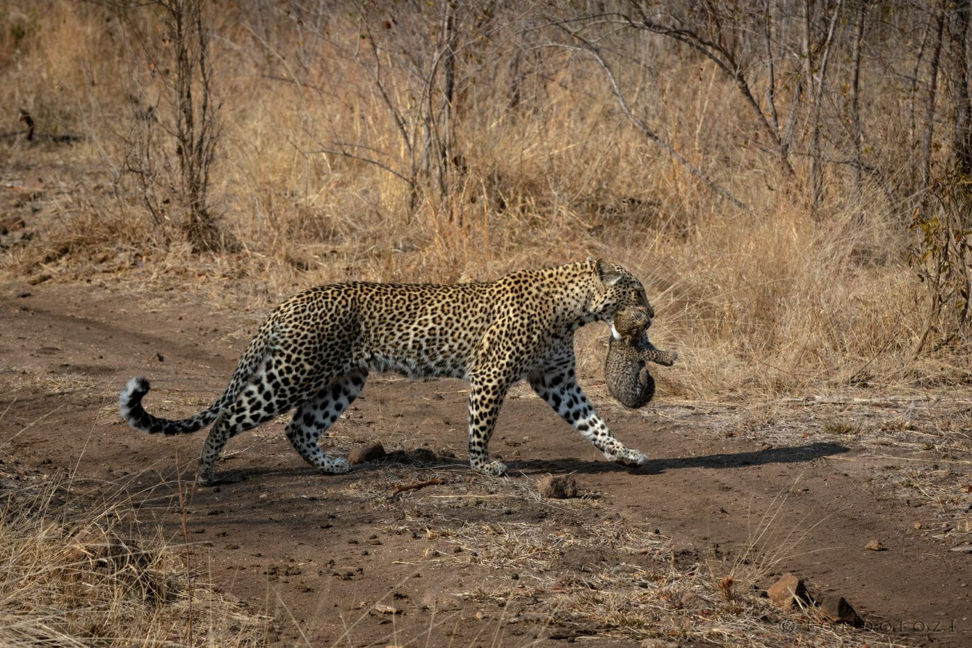 Makomsava Female Carrying Cub 7292