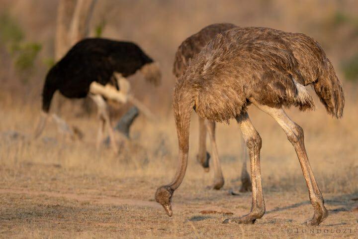 20200903 Ostrich Feeding