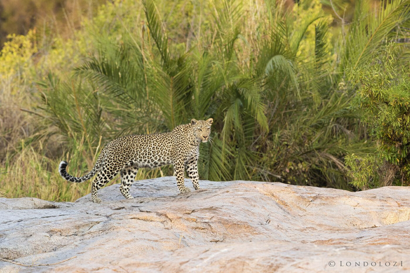 Makomsava Leopard