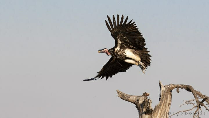 Lappet Faced Vulture Bird