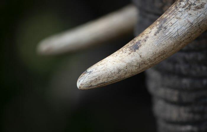 Elephant Tusk1