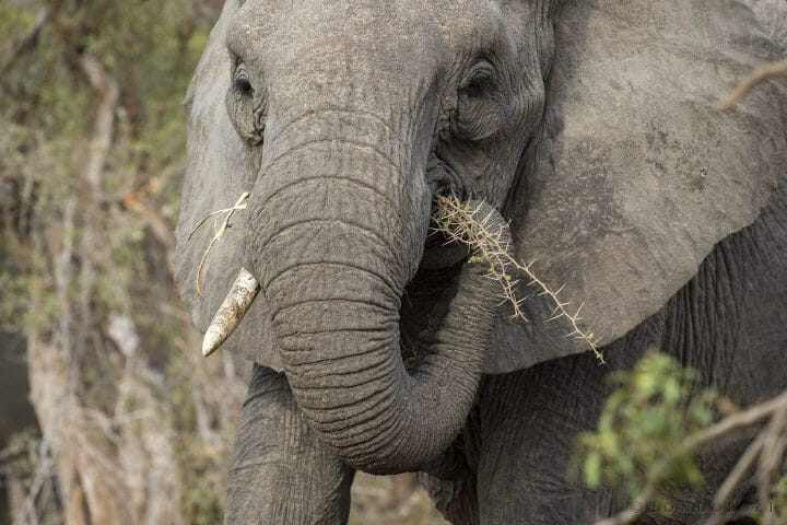 Elephant Tusk Acacia Thorns