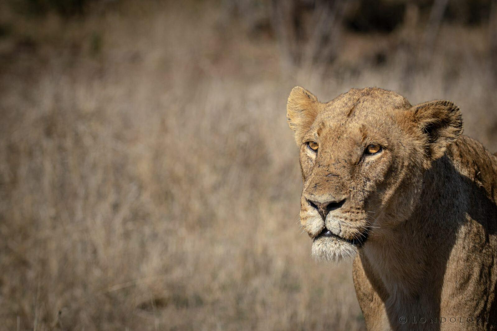 Ntsevu Lioness Portrait 7779