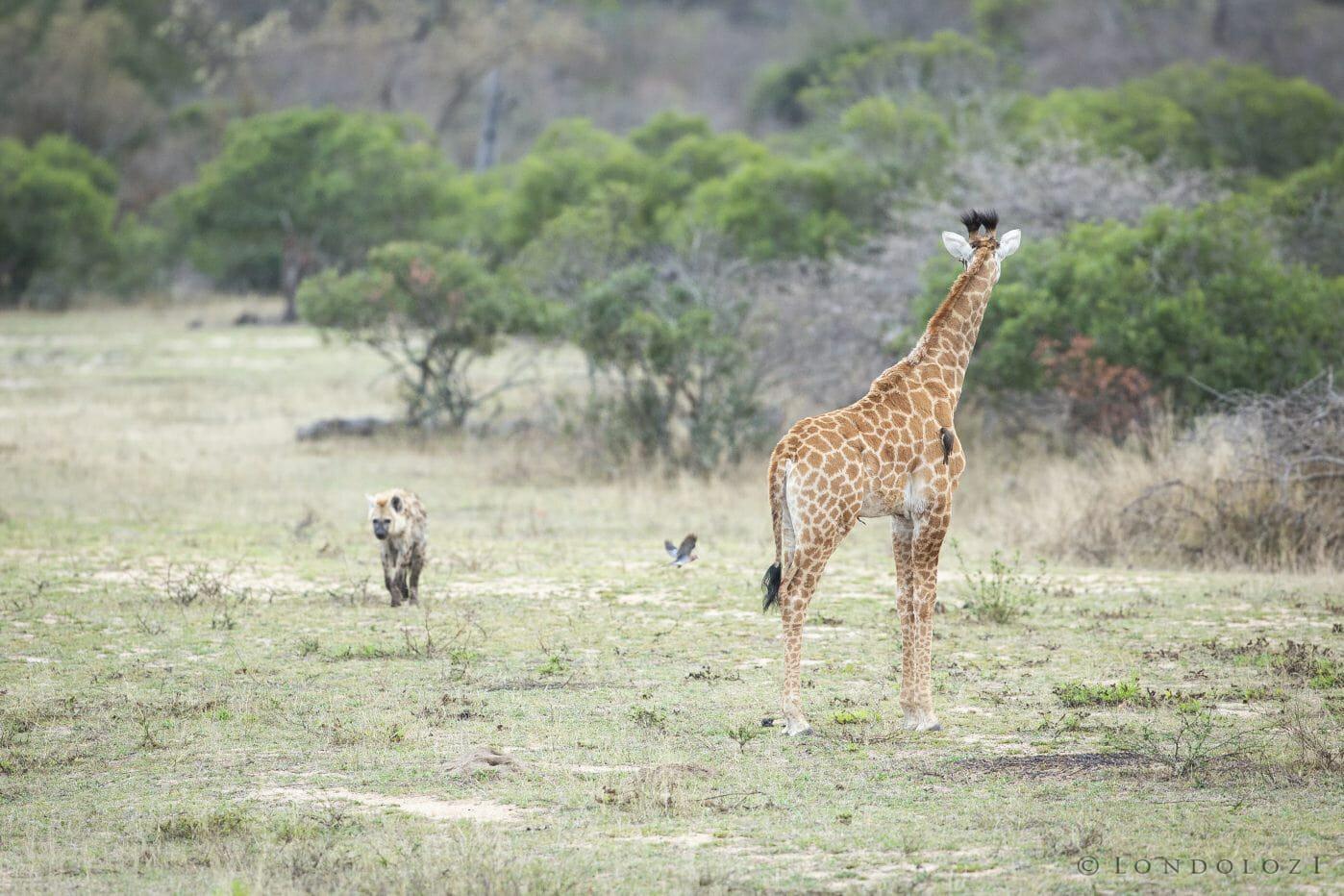 Giraffe Hyena