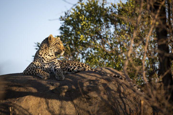 Xinzele Leopard
