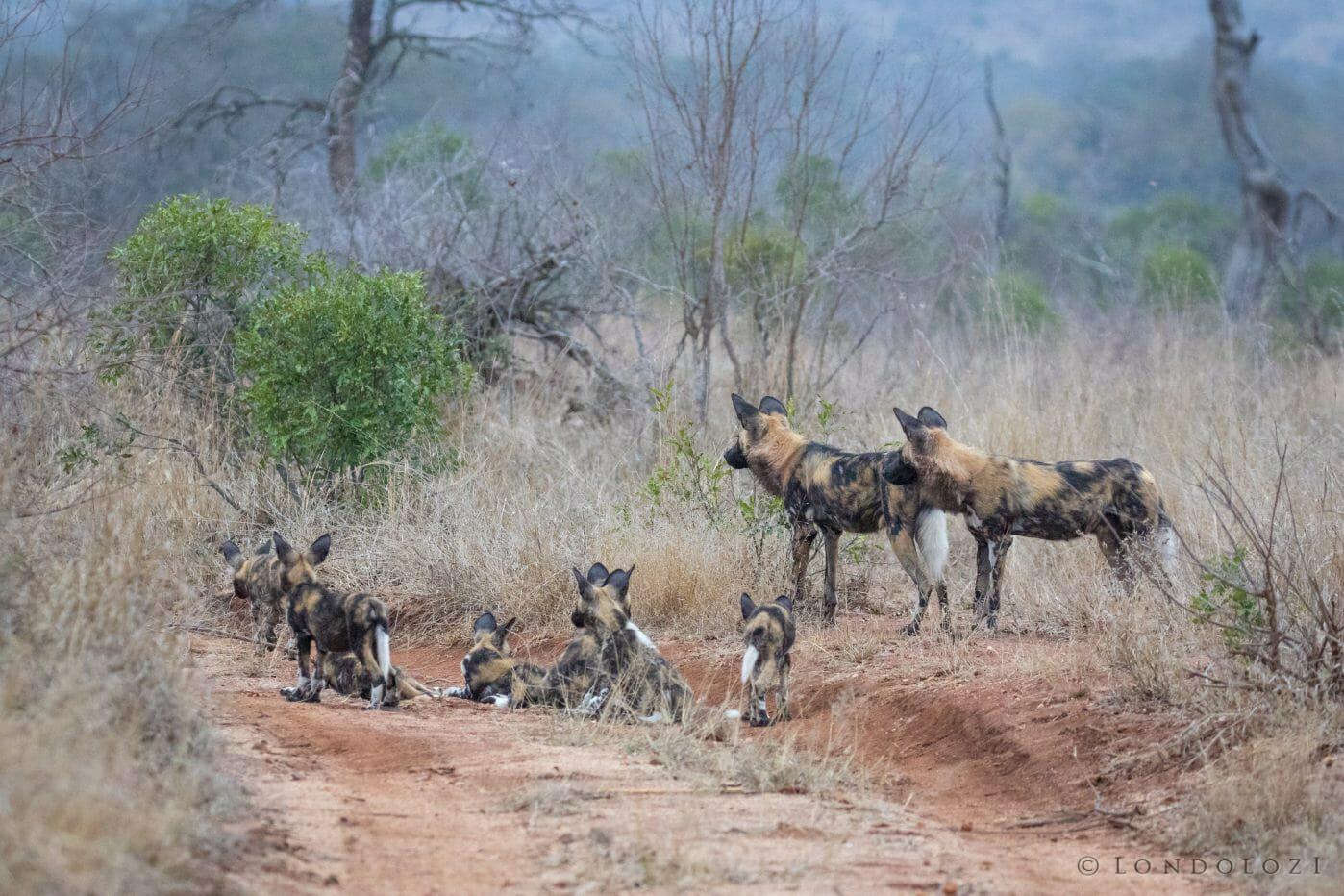 Wild Dog Pack Pt 2020 8028