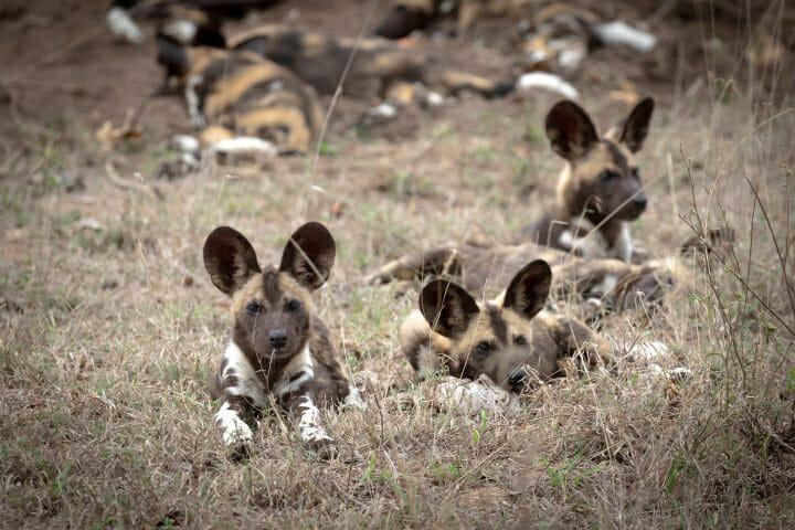 Wild Dog Pups Pt 2020 8088