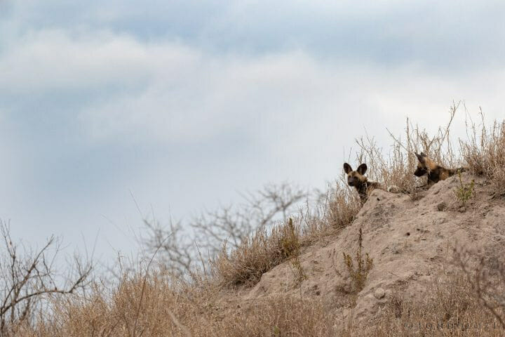 Wild Dog And Pups Pt 2020 8065