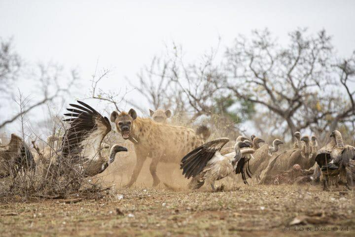 Hyena Vulture Bird 7