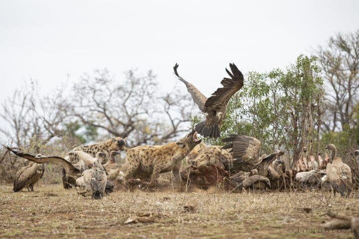 Hyena Vulture Bird 8