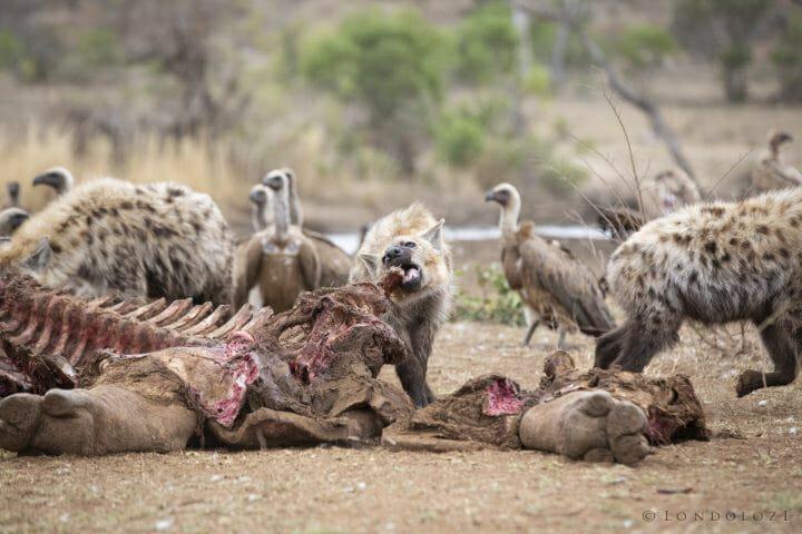 Hyena Vulture Bird 9